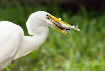 a great Egret catches lunch