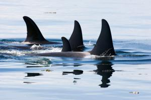 Killer Whale Pod in British Columbia