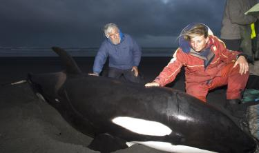 Jean-Michel Cousteau assists Dr. Ingrid Visser in the rescue of the stranded orca, 'Rakey-Cousteau'