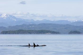 A pod of (non captive) Orca cruise the Queen Charlotte Strait, British Columbia