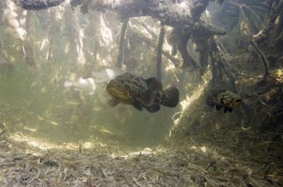 Goliath Groupers make the mangroves their home during the first years of their lives
