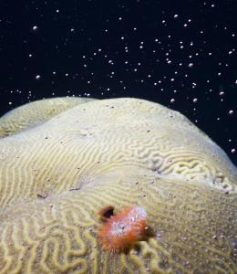 Coral Spawning in the Gulf of Mexico