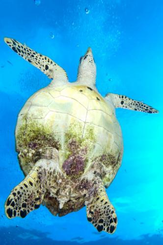 Green Sea Turtle © Carrie Vonderhaar, Ocean Futures Society