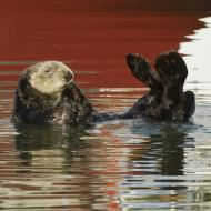 A Sea Otter at the Montery Bay National Marine Sanctuary