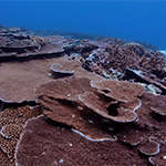 coral-in-Fagatele-Bay---NMSAS.png